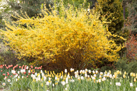 Tulips in front of spectacular yellow forsythia bush