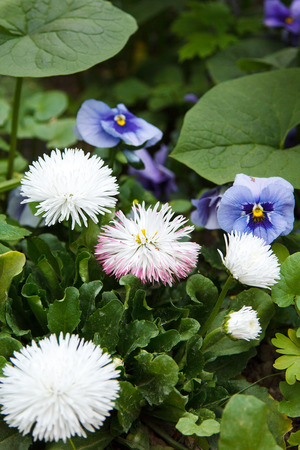 bluet: several cornflowers and heartsease in the foliage Stock Photo