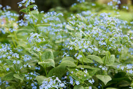 forget: many little blue forget me nots closeup