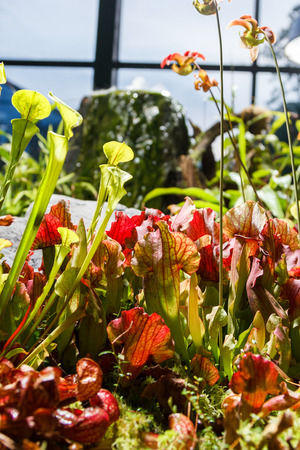 insectivorous plants: carnivorous plants in a greenhouse on a blurred background