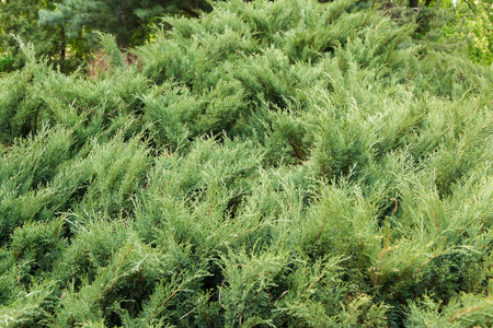 arborvitae: fresh green needles of arborvitae in spring Stock Photo
