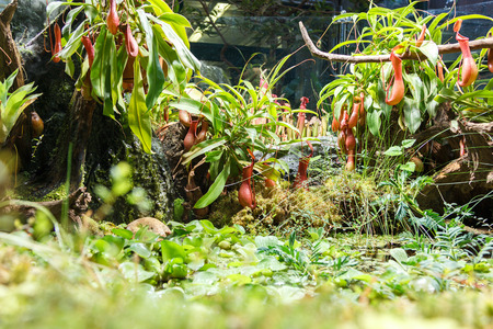insectivorous plants: carnivorous plants and pond in a greenhouse