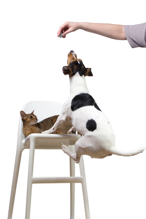 agouti: dog jumping on a chair to cat for ball Stock Photo