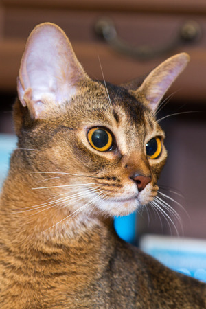 abyssinian cat: red Abyssinian cat face with orange eyes