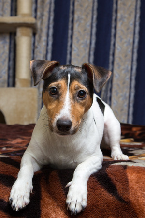 bedcover: tricolor Jack Russell Terrier lying on the bed