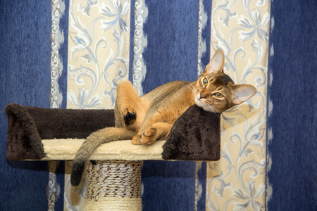 abyssinian cat: Abyssinian cat lying in a basket on a background of curtains