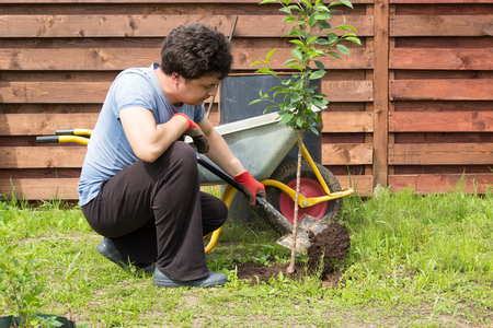 man plants a cherry in the garden