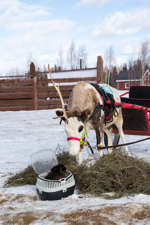 reindeer harnessed in a cart and a black rabbit