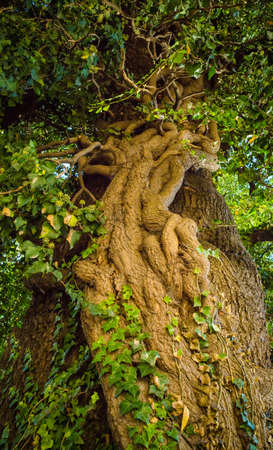 Old big linden tree closeup Stock Photo