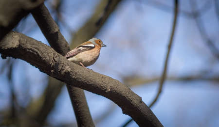 Little chaffinch sitting on a branch