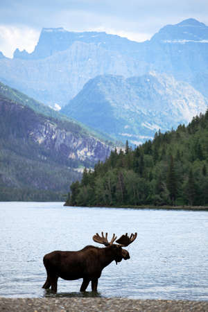 Moose in Waterton lake , Alberta, Canada