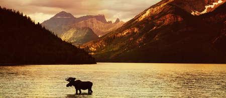 jezior: Moose w jeziorze o zachodzie słońca