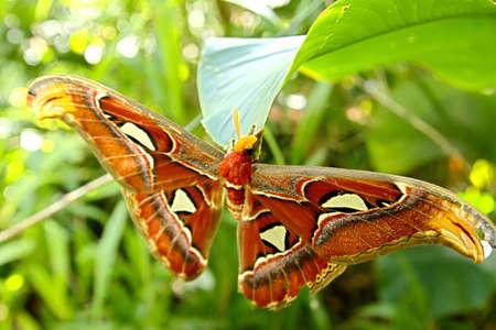 wonderfull: wonderfull butterfly (attacus atlas) Stock Photo