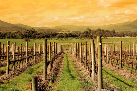 grape field: A Colourful photo of an Australian Vineyard in the Yarra Valley