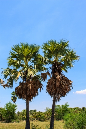 sugar palm: Sugar palm trees in Thailand