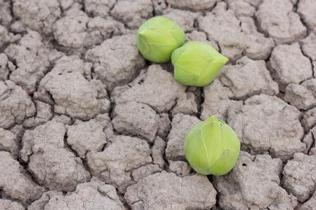 venerate: Green lotus flower on dry soil