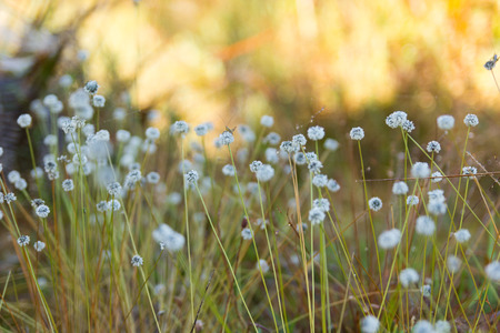 eriocaulaceae: Kradumngen (Eriocaulon henryanum) Flower in Phukradung National Park, Thailand.