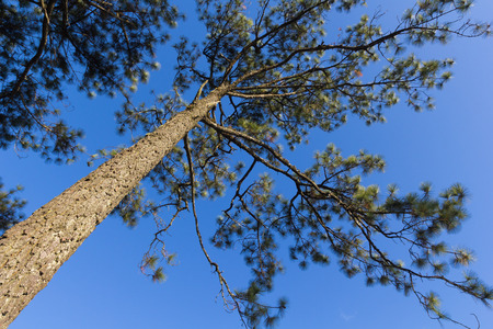 loei: Pine with sky at Phukradung National Park, Loei, Thailand. Stock Photo