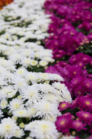 shasta daisy: Beautiful garden of flower blossoms.