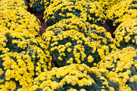 shasta daisy: Beautiful garden of flower blossoms.