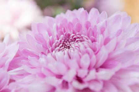 softness: Softness focus pink chrysanthemum flower.