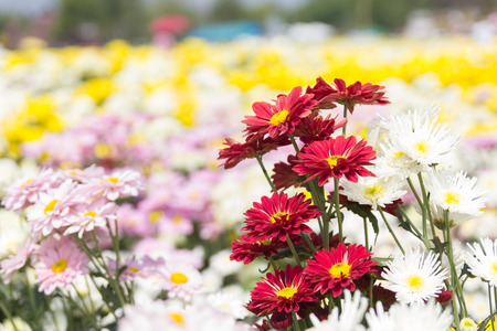 softness: Softness focus colorful chrysanthemum flower.