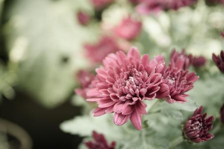 softness: Softness focus vintage chrysanthemum flower.