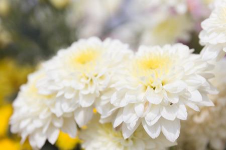 softness: Softness focus white chrysanthemum flower. Stock Photo