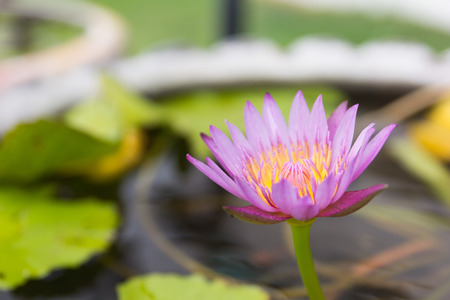 lotus blossom: Close up a beautiful lotus blossom.