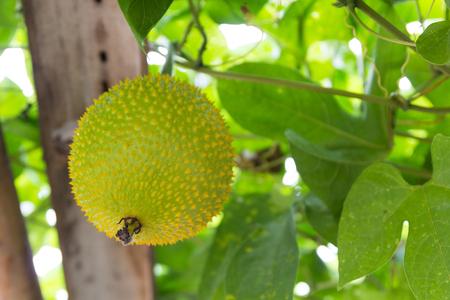bitter fruit: Spring Bitter Cucumber or gac fruit at garden. Stock Photo