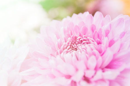 Beautiful chrysanthemum flowers with softness focus color filters background. Stock Photo