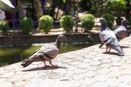 pidgeon: Pigeon close up in park.