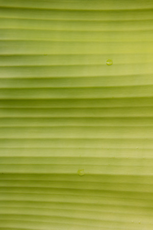 banana leaves: Banana leaves use for background.