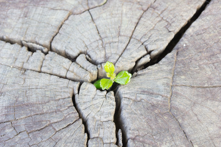 Seedling growing in the center trunk as a concept of new life and new development and renewal as a business concept of emerging leadership success.