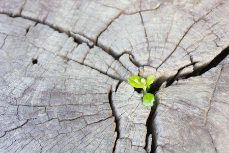 Sämling wächst in der Mitte Stamm als ein Konzept für neues Leben und neue Entwicklung und Erneuerung als ein Business-Konzept der aufstrebenden Führungserfolg.