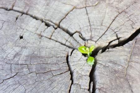 renewal: Seedling growing in the center trunk as a concept of new life and new development and renewal as a business concept of emerging leadership success.