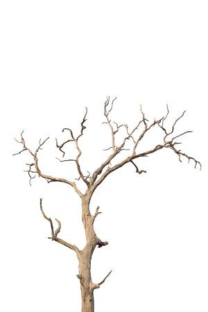 白い背景の上死んでいると乾燥の木。