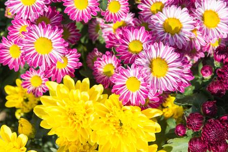 小さな庭の美しい菊の花です。