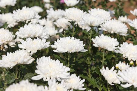 美しい白い菊の花の背景。