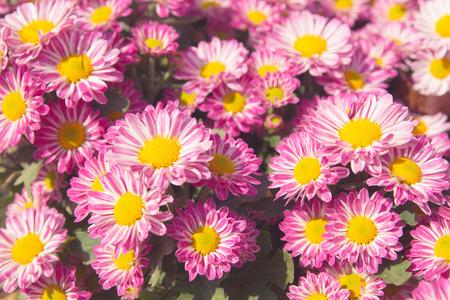 美しいピンクの菊の花の背景。
