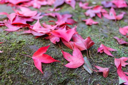 Phukradung 国立公園、タイで赤いカエデの葉 写真素材