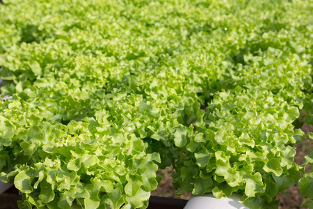 水耕栽培技術。有機水耕栽培農場。