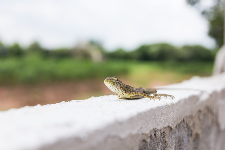 Orange lizard sitting on wall in the natural habitat. 版權商用圖片