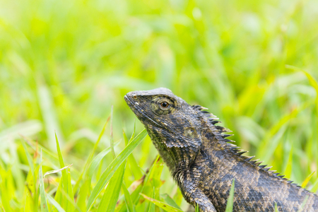 Lizard sitting on grass in the natural habitat.