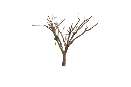 Dead and dry tree on white background.