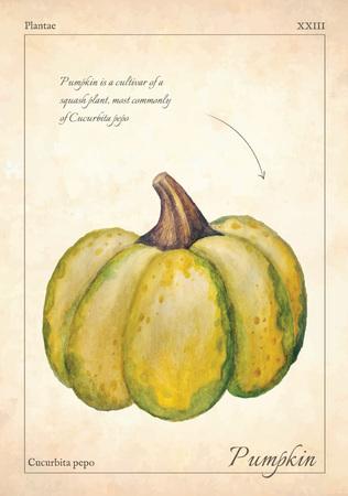 Gourd, pumpkin vector illustration. Green isolated gourd, pumpkin vector illustration for menu, print. Isolated  gourd, pumpkin vector illustration. Isolated gourd, pumpkin for book, card