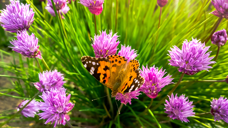 Wild Chives and lady orange butterfly. Imagens