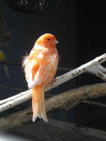 finch: orange finch