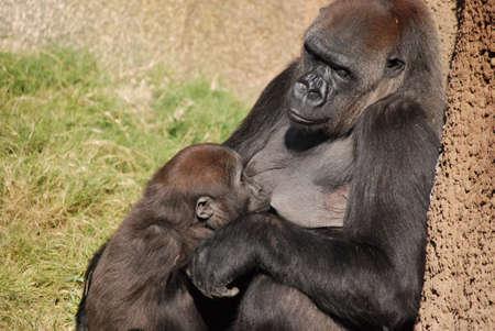 western lowland gorilla: Una professione dinfermiera occidentale del gorilla della pianura della madre i suoi giovani. Preso al giardino zoologico de Los Angeles.