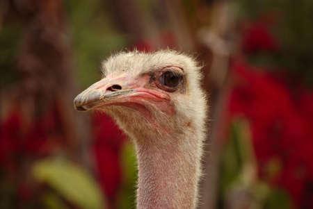 Close up shot of an ostrich profile. Stok Fotoğraf